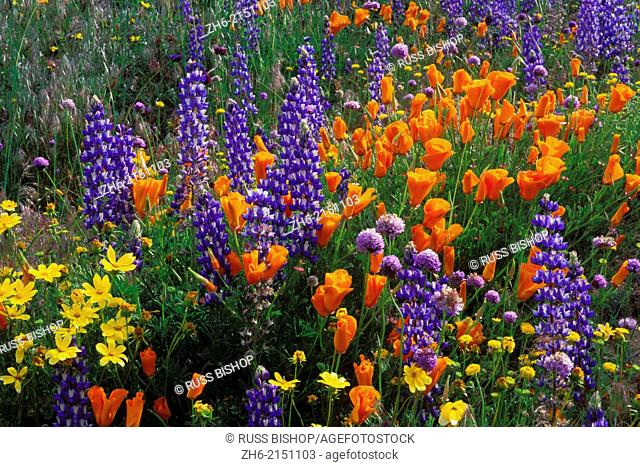 Lupines, coreopsis (Coreopsis californica), and California poppies (Eschscholzia californica) in the Tehachapi Mountains, Angeles National Forest