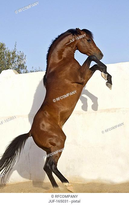 Arabian horse - rearing