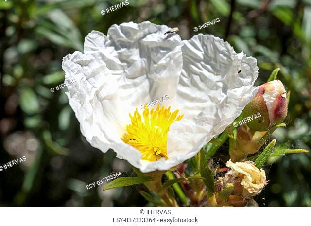 Flowers of Gum rockrose, Cistus ladanifer. Photo taken in Guadarrama Mountains, La Cabrera, Madrid