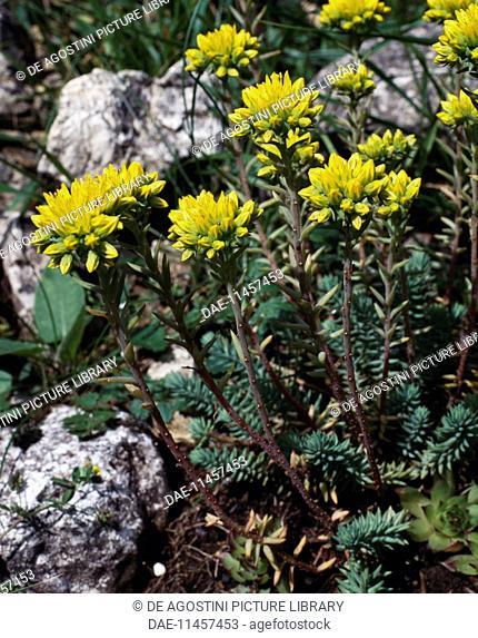 Reflexed stonecrop, Blue stonecrop or Jenny's stonecrop (Sedum reflexum), Crassulaceae