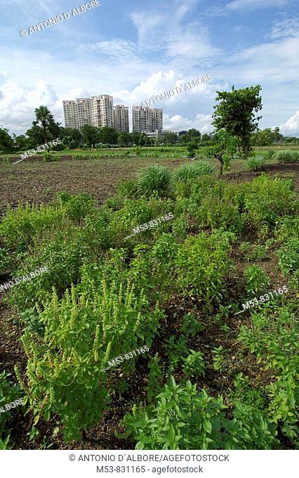field of east indial basil ocimun gratissimum in dhapa district kolkata west bengal india asia