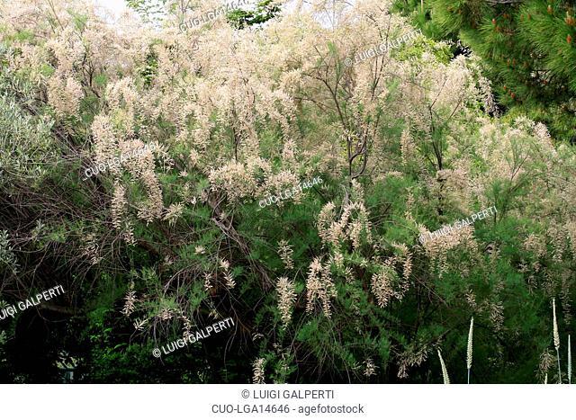 Tamarix parviflora, smallflower tamarisk, tamerice