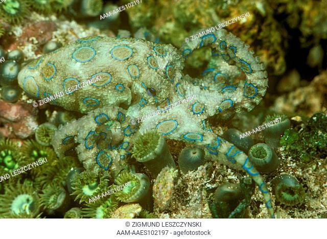 Blue Ring Octopus - Venomous (Hapalochlaena lunulata) Tropical Indo-Pacific