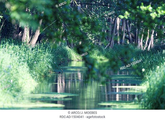 stream through swamp forest of red alder, Alnus glutinosa, Wachtendonk, Kleve, NRW, Germany, Europe