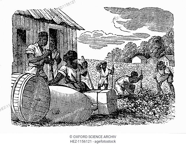Slaves working on a tobacco plantation, 1833. In the foreground tobacco is baled and barrelled ready to be taken off the plantation