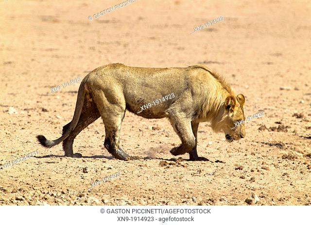 African lion Panthera leo - young Male, Kgalagadi Transfrontier Park, Kalahari desert, South Africa