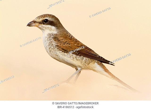 Red-backed Shrike (Lanius collurio), juvenile, Sharm El Sheikh, Egypt
