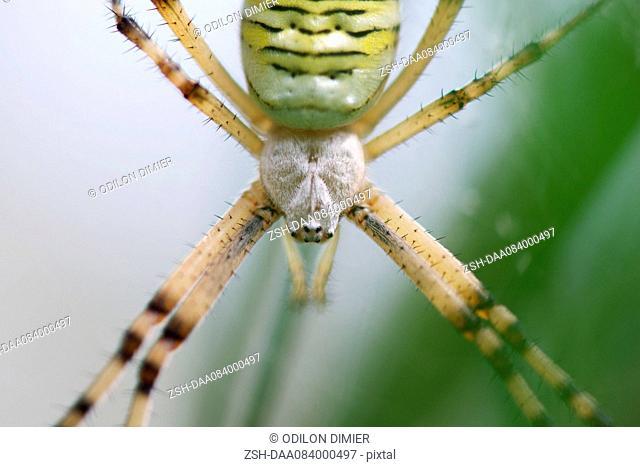 Banded argiope spider (Argiope trifasciata), close-up