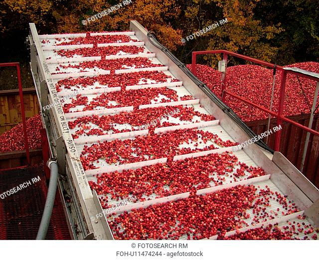 East Wareham, MA, Massachusetts, Plymouth County, Cranberries, Cranberry Wet Harvest, conveyer belt, truck
