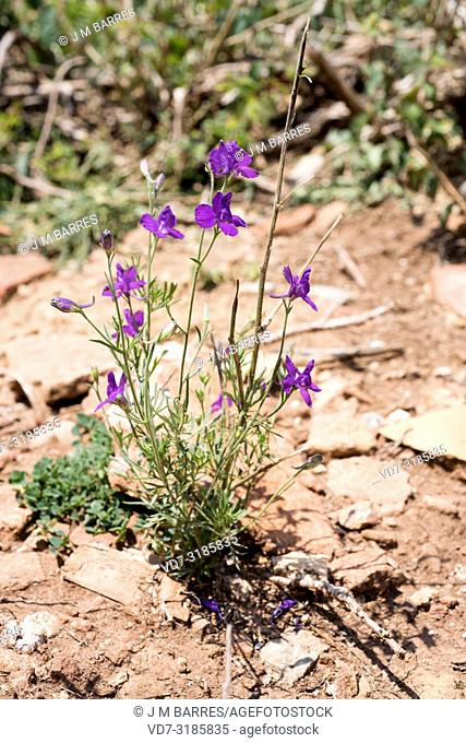 Consuelda (Consolida orientalis or Consolida hispanica) is an annual herb native to Mediterranean Basin. This photo was taken in Maestrazgo, Teruel province