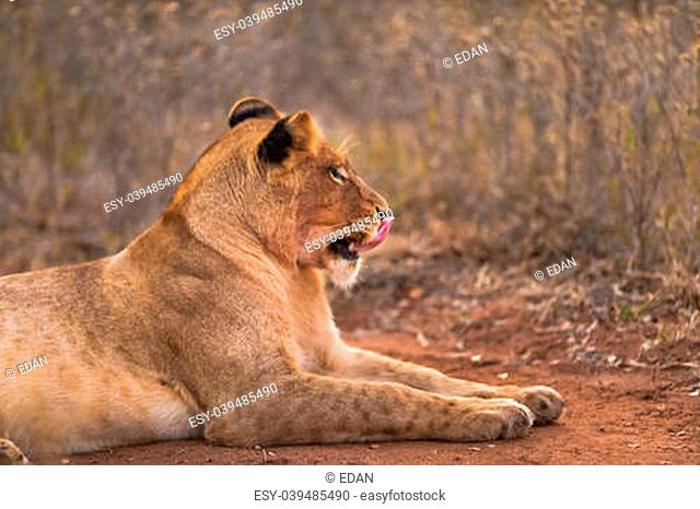 Female lion licking lips, near Kruger National Park