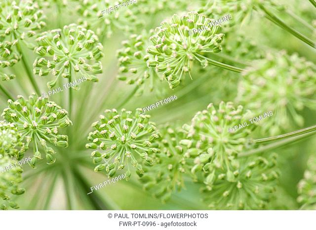Angelica - wild angelica, Angelica sylvestris