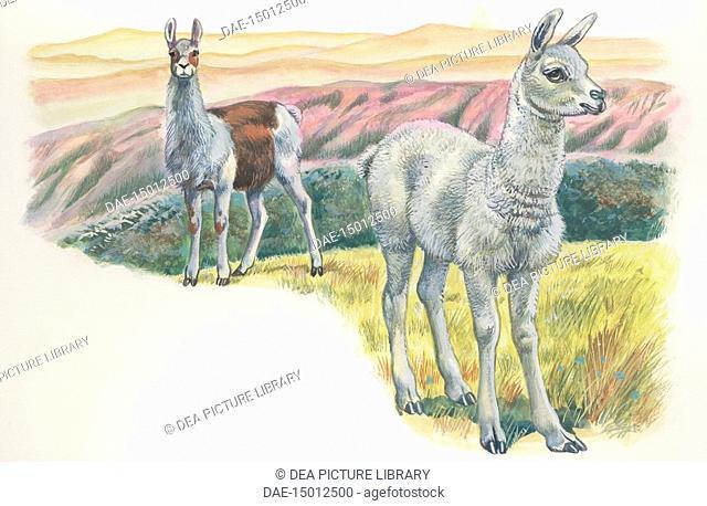 Zoology: Mammals - Llama (Lama glama) with fawn. Art work