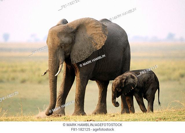 African Elephants (Loxodonta africana), mother and young. Chobe National Park. Botswana