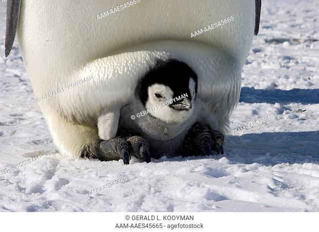 Emperor penguin (Aptenodytes forsteri) brooding chick, foot support, Western Ross Sea colony, Antarctica