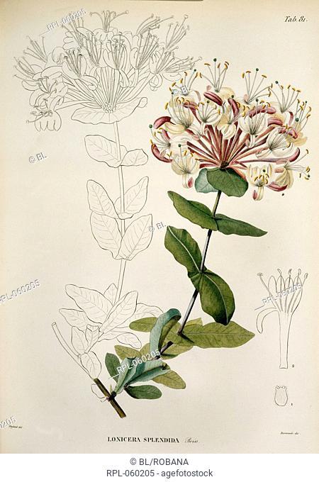 Lonicera Splendida A red and white flower. Image taken from Voyage botanique dans le midi de l'Espagne pendant l'annee 1837