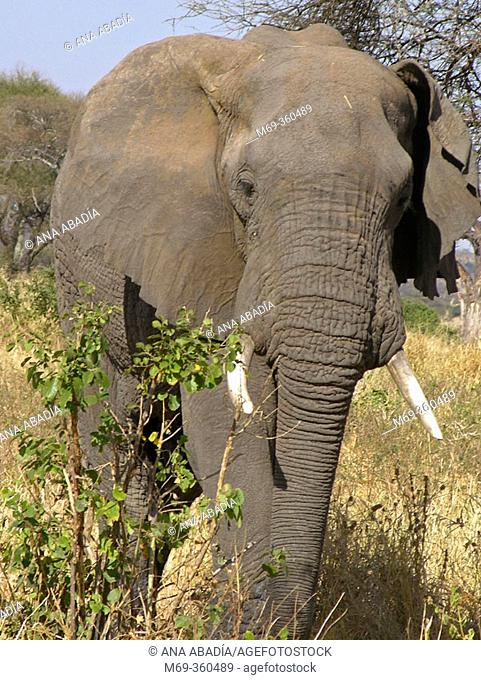 African Elephant (Loxodonta africana). Tarangire National Park, Tanzania