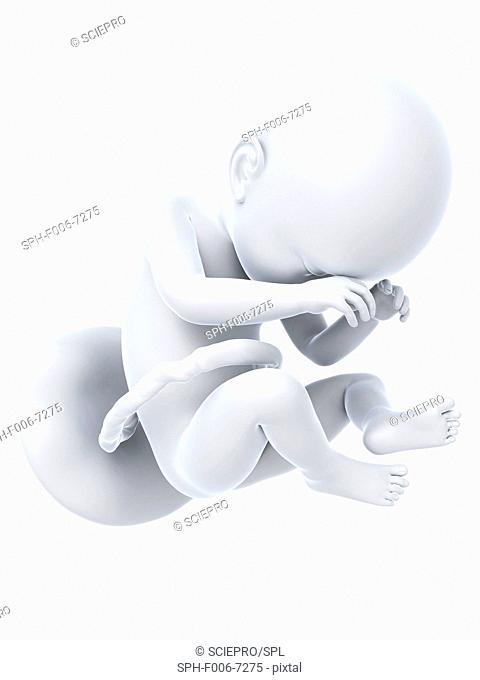Full term foetus, computer artwork