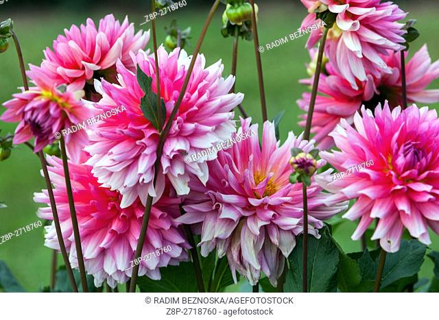 Dahlia ' Sara ' flower