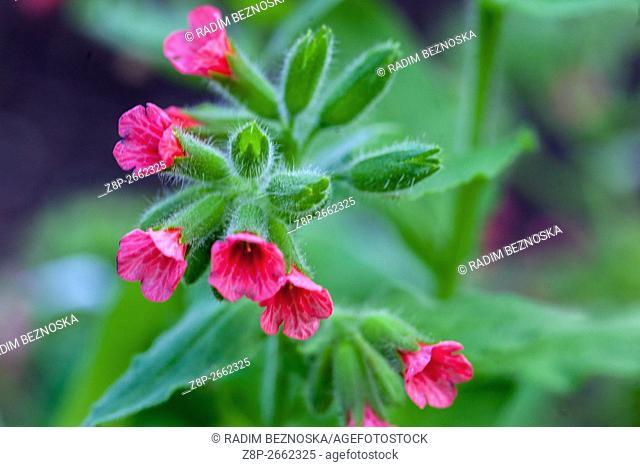 Red lungwort, Pulmonaria rubra in flower