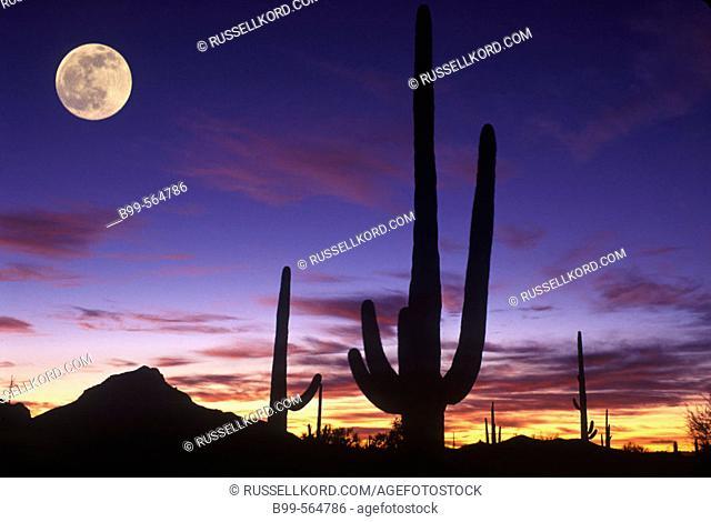 Scenic Saguaro Cactus, Saguaro National Monument Arizona, Usa