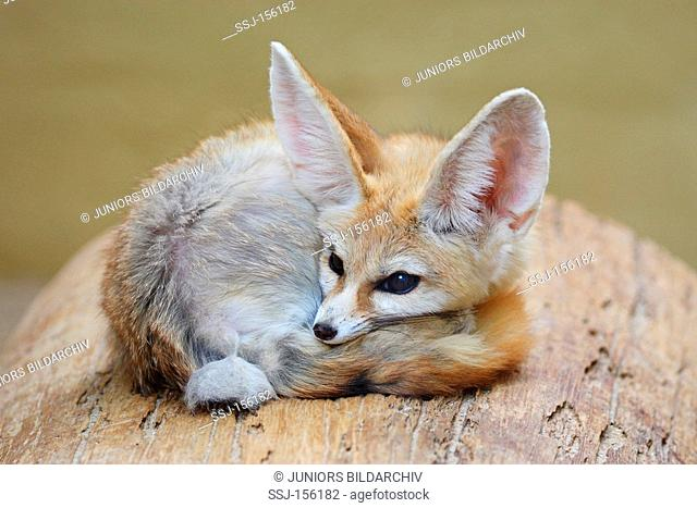 Fennec Fox - lying / Vulpes zerda