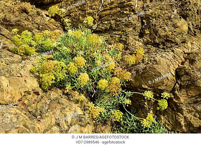 Sea fennel or samphire (Crithmum maritimum) is an edible plant native to Mediterranean and Canary Islands coast and western coastlines of Europe