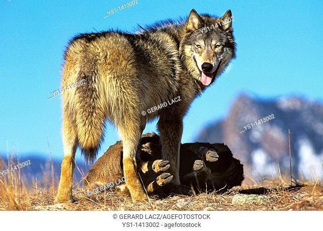NORTH AMERICAN GREY WOLF canis lupus occidentalis, ADULT WITH PREY, CANADA