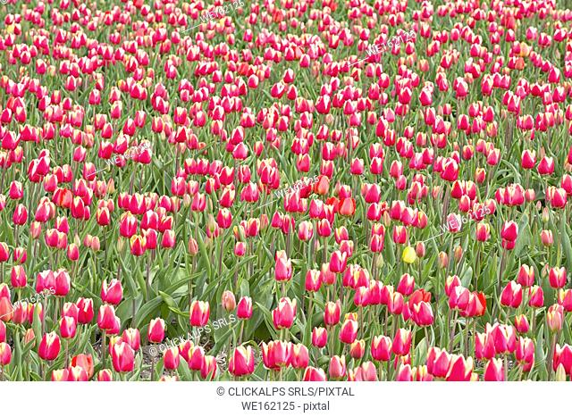 Multicolored fields of tulips in bloom, Noordoostpolder, North Holland, netherlands