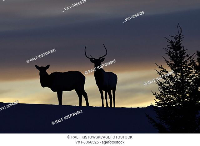 Elks (Cervus canadensis), pair in winter, standing on a little hill, knoll, silhouetted against nice evening sky, backlight shot, Yellowstone NP, Wyoming, USA