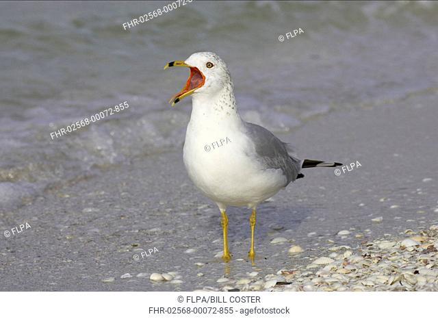 Ring-billed Gull Larus delawarensis adult, winter plumage, calling, standing on shore, Sanibel Island, Florida, U S A