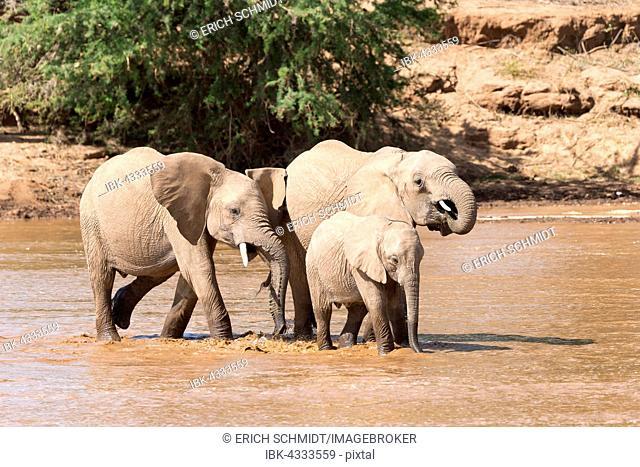African elephants (Loxodonta africana) crossing river with young, Samburu National Reserve, Kenya