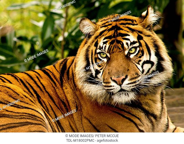 A Sumatran tiger, Panthera tigris sumatrae