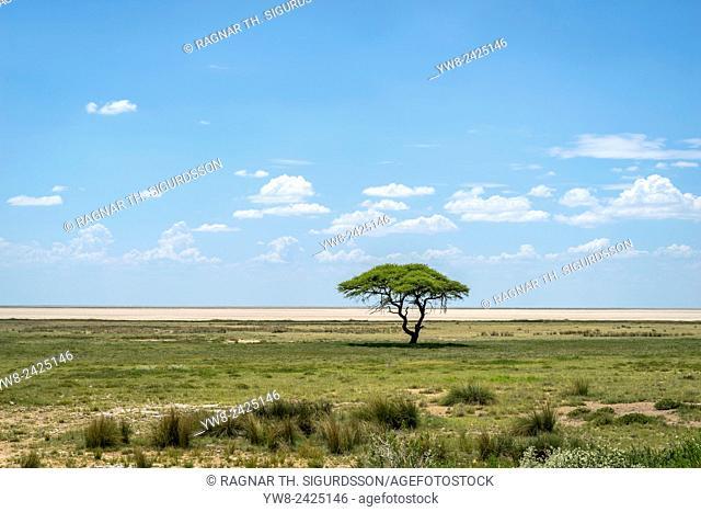 Acacia tree, Etosha National Park, Namibia, Africa