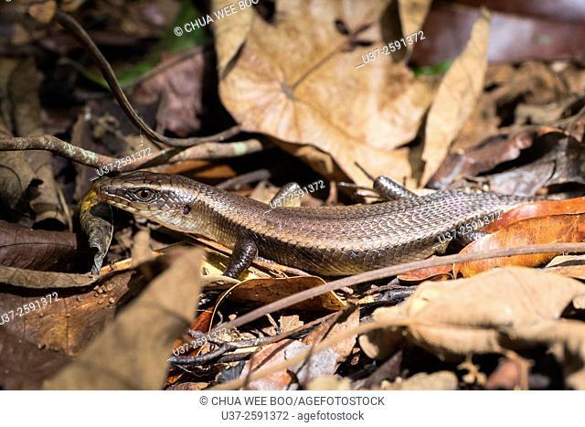 Grass lizard. Image taken at Stutong Forest Reserve Parks, Kuching, Sarawak, Malaysia