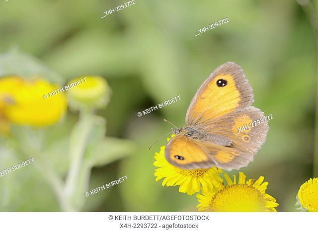 Pyronia tithonus, Gatekeeper butterfly feeding on Fleabane, Wales, UK