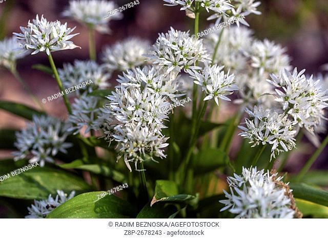 Wild Garlic blossoms, Allium ursinum