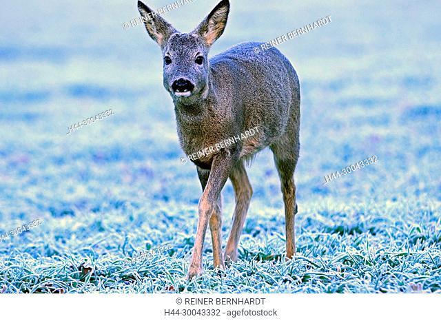 Capreolus capreolus, European roe deer, field roe deer, field roe deer in winter, nature, cloven-hoofed animal, hoarfrost, roe deer, roe deer in the winter coat