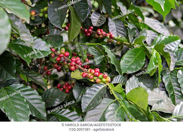 Ripening coffee beans on bush, Huila Colombia