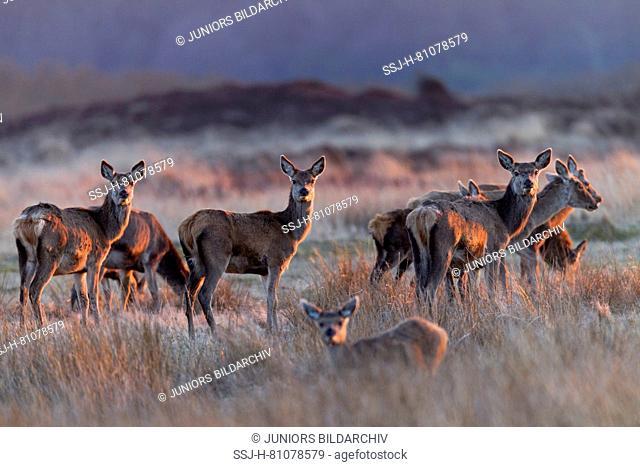 Red Deer (Cervus elaphus). Hinds and calves standing in last evening light. Denmark