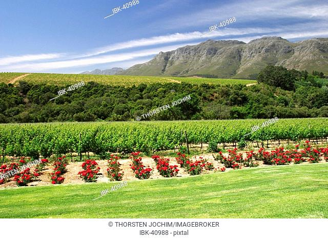 View from Rust en Vrede estate over the rose flower garden to the grapevine in front of wonderful mountains. (South-Africa)