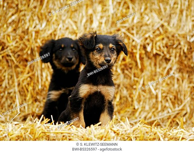 mixed breed dog (Canis lupus f. familiaris), two whleps in straw, Germany