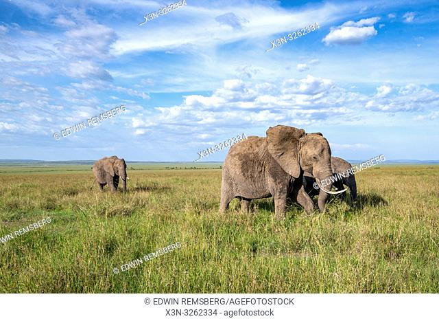 African bush elephants (Loxodonta africana), aka African savanna elephants on a beautiful landscape in Maasai Mara National Reserve , Kenya