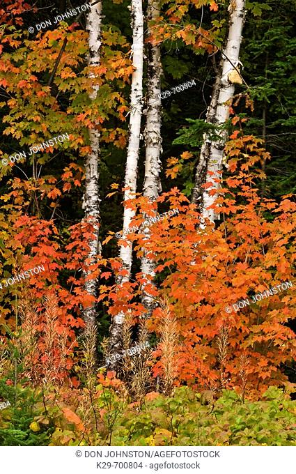 Red maple foliage and white birch tree trunks