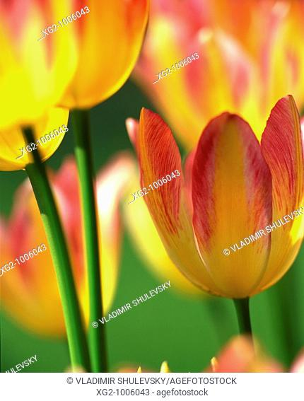Yellow and red tulips in nature