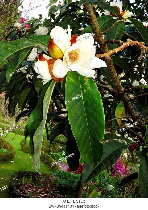Michelia (Michelia doltsopa, Magnolia doltsopa), blooming, Madeira