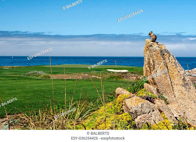 A California ground squirrel (Otospermophilus beecheyi) is watching the great Ocean on a small rock near a golf corse at 17 Mile Drive, while eating