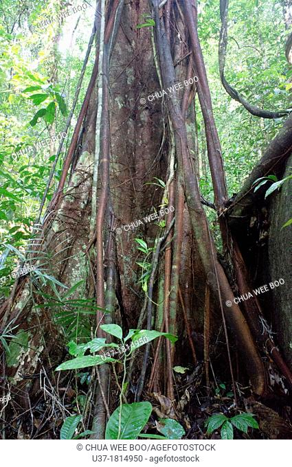 Tree and roots. Image taken at Gunung Gading National Parks, Lundu, Sarawak, Malaysia