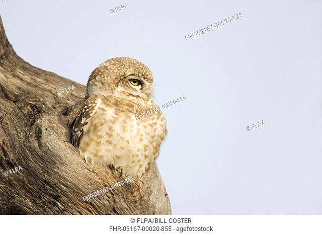 Spotted Owlet Athene brama adult, sitting at entrance to hole in tree trunk, Keoladeo Ghana N P Bharatpur, Rajasthan, India