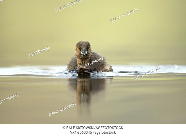 Curious Little Grebe (Tachybaptus ruficollis) comes closer, cute, with nice reflection, clean background, wildlife, Germany, Europe